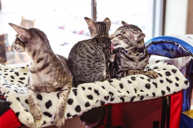 """Tai, ko dar nežinojote apie """"namų šeimininkes"""" kates"""