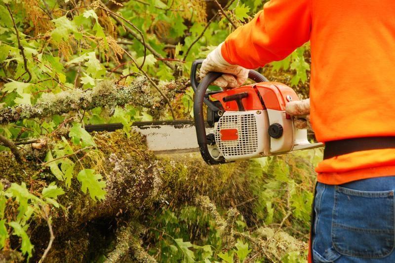 Nukirstas medis gali išsaugoti visą mišką