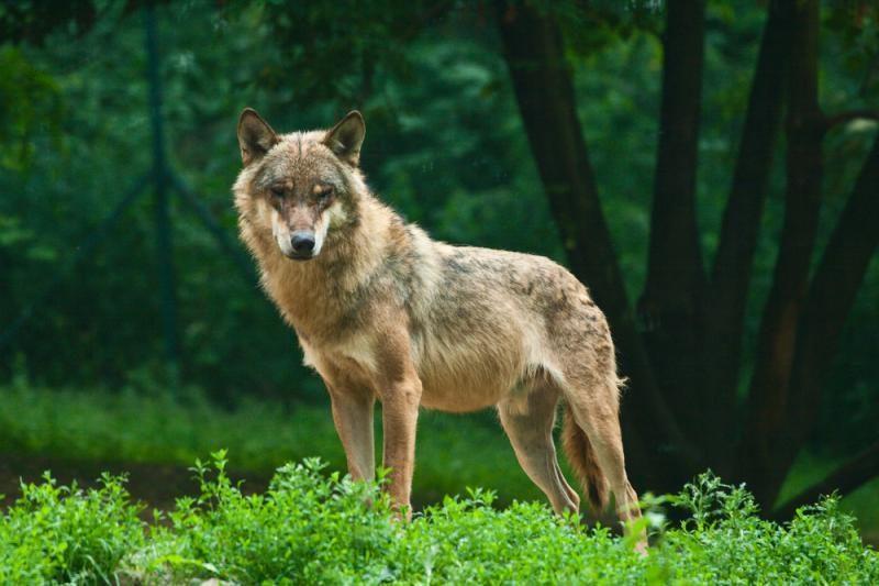 Vilkų išsigelbėjimu tapo saugomos teritorijos