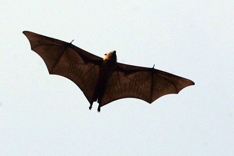 Skraidančios juodosios lapės: didžiausi planetos šikšnosparniai