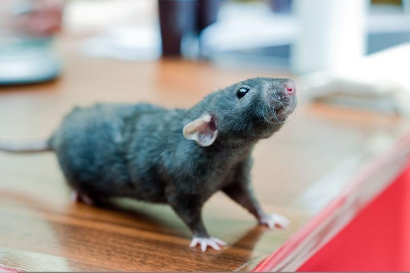 Biržų rajone žiurkė apdraskė pusės mėnesio kūdikį
