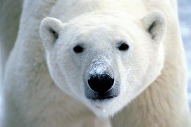 Seniausia baltoji meška 43-ojo gimtadienio nesulaukė