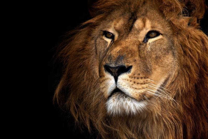 Gyvūnų karaliaus liūto paslaptis - 20 val. poilsio per parą (foto)