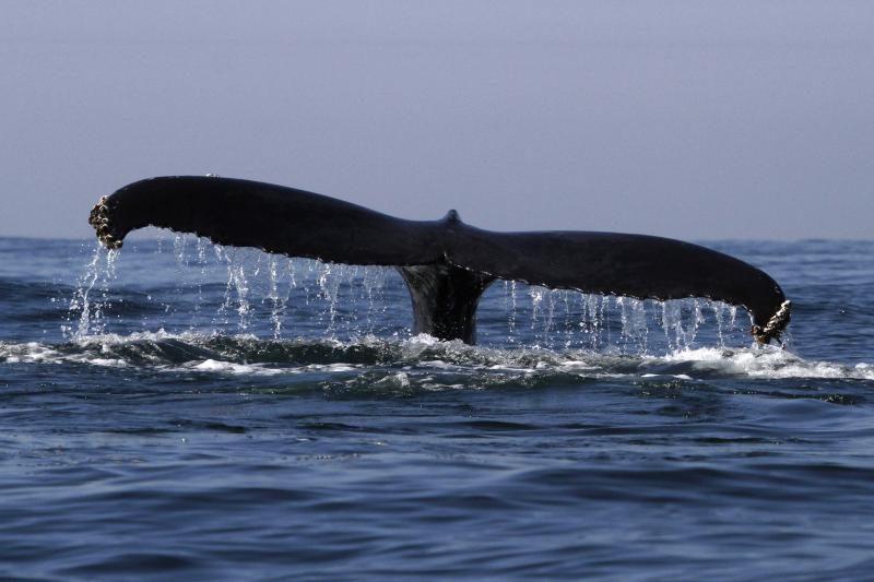Japonija ir Australija bylinėjasi dėl banginių medžioklės