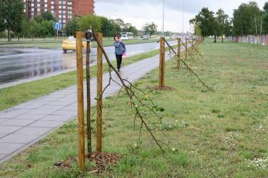 Vandalai Klaipėdoje nulaužė šešias liepaites