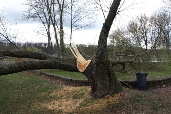 Santakos parke kažkas nupjovė septynis medžius