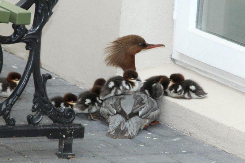 Prezidentūros parke apsigyveno didžioji dančiasnapė su 8 jaunikliais