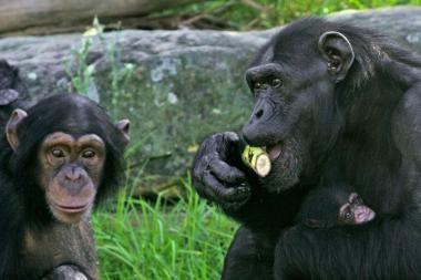 Šimpanzės keičia maistą į seksą