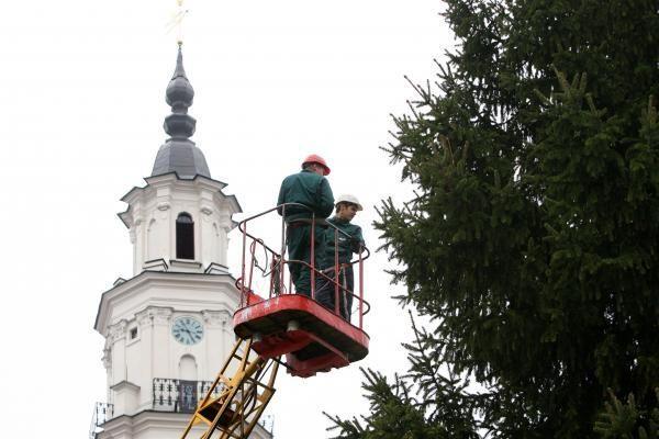 Pagrindinė Kauno eglutė jau puošiama