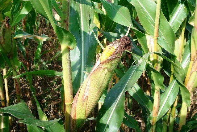 Senovės Peru gyventojai valgė kukurūzų spragėsius