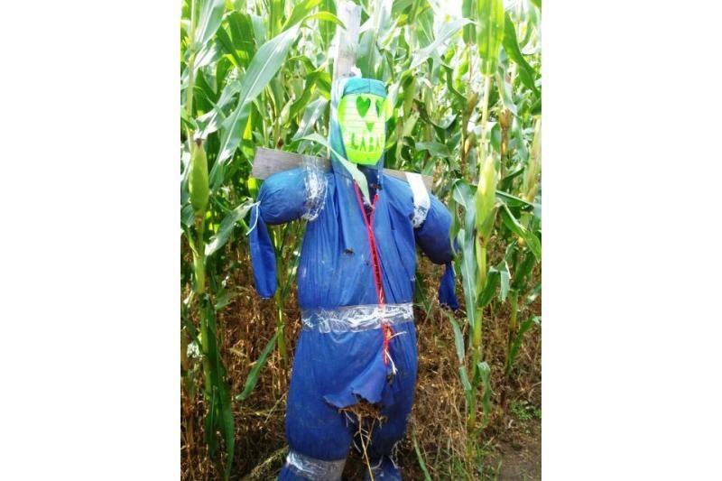 Kukurūzų labirinto lankytojus tenka raminti ir apsaugos darbuotojams