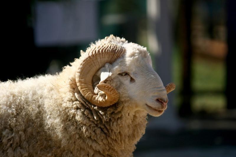 Kinijoje Valentino dieną įvyko elnės ir avino vestuvės