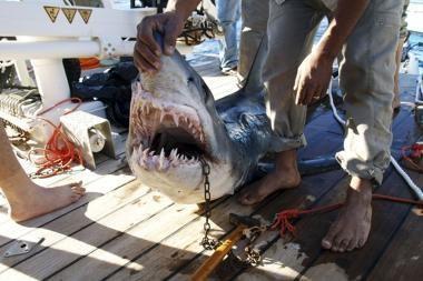 Šarm el Šeicho kurorte pagautas antras siautėjantis ryklys