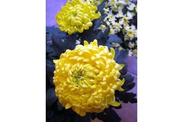 Chrizantemos – populiariausios rudens gėlės