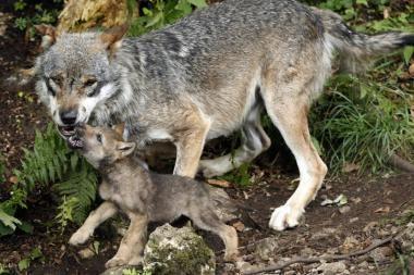 Visuomenininkai prezidentei įteiks peticiją prieš vilkų medžioklę