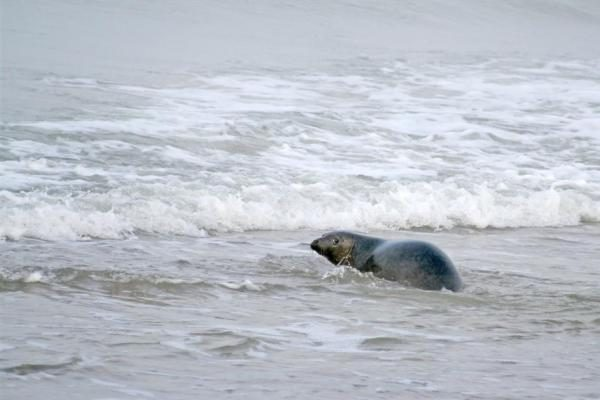 Jūrų muziejaus ruoniai jau laisvėje