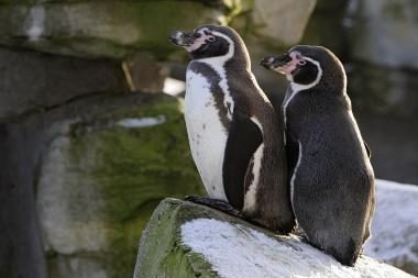 Vokietijoje pingvinai gėjai išperėjo kiaušinį