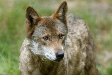 Lenkijoje siautėjo žvėrys: meškos, vilkai, bebrai ir stumbrai