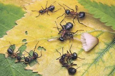 """Brazilijoje aptiktos """"skruzdės zombiai"""""""