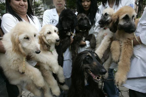 Šunis klonuos pigiau
