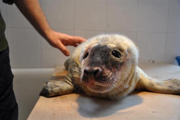 Baltijoje jau pasirodė ruonių jaunikliai