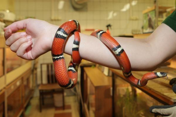Pieniškoji gyvatė Dryžius sugrįžo į namus