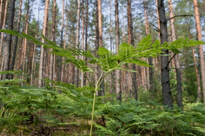 Valstybiniuose miškuose steigiami genetiniai draustiniai