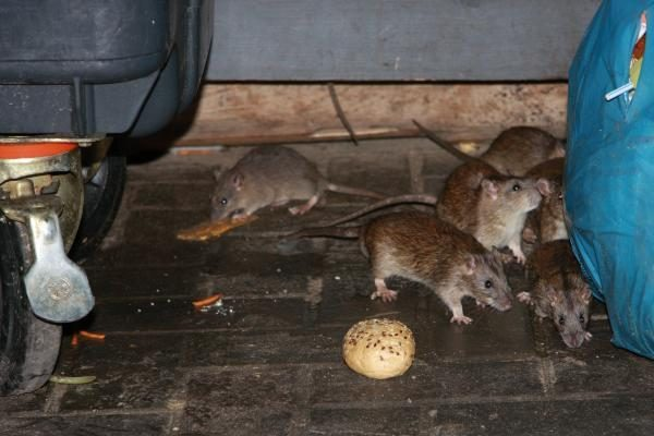 Vilnių atakuoja žiurkės