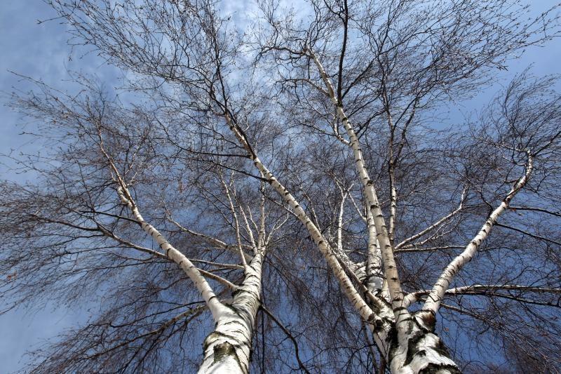 Orai šyla: iš medžių jau pradeda tekėti sula