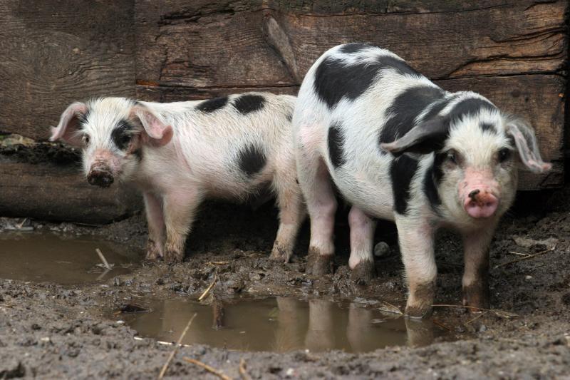 Baltarusijoje - jau antras afrikinio kiaulių maro protrūkis
