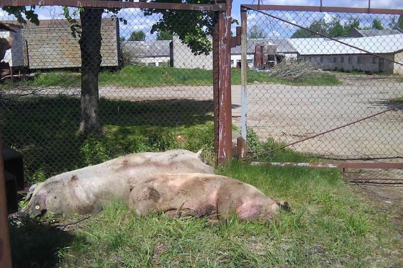 Šokiravo nudvėsusių kiaulių prigrūsti konteineriai