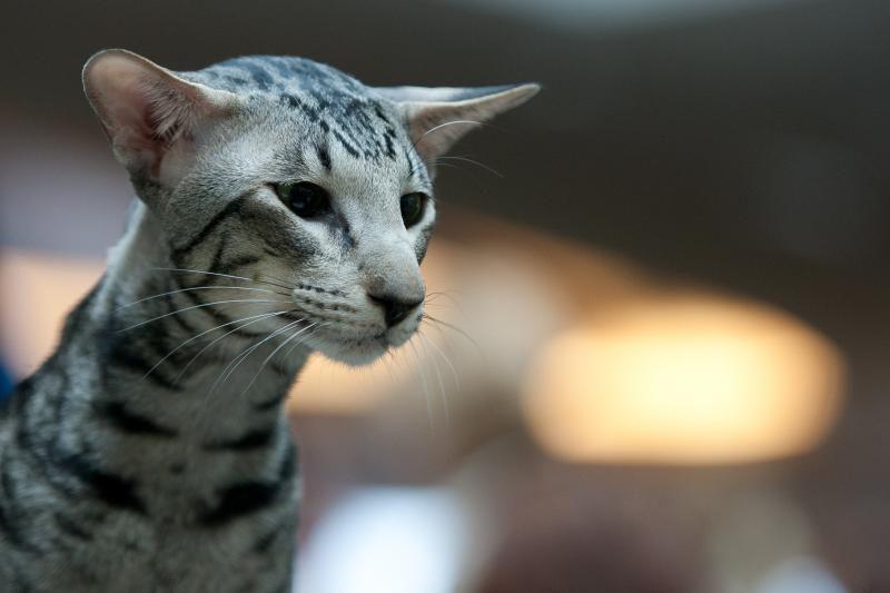 Artėjantį savaitgalį parodoje puikuosis egzotinės katės