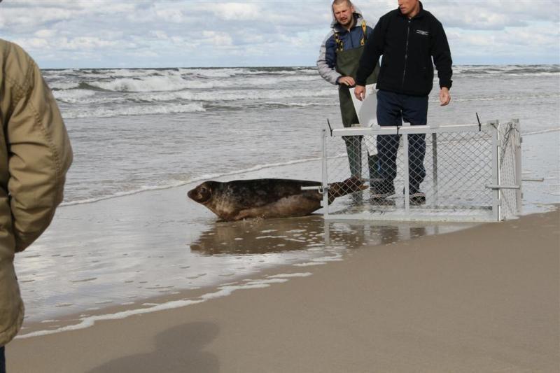 Jūrų muziejuje slaugytas ruoniukas grįžo į jūrą