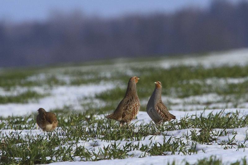 Ar lietuviškoms kurapkoms gresia išnykimas?