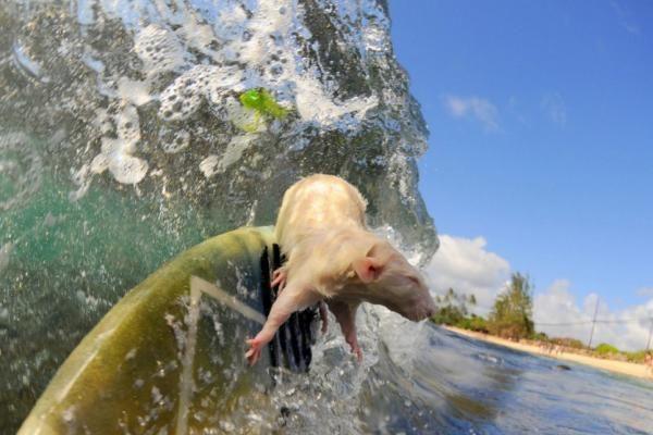 Nepaprasti žiurkių nuotykiai Havajuose