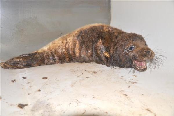 Klaipėdoje gelbėjamas mazutuotas ruoniukas