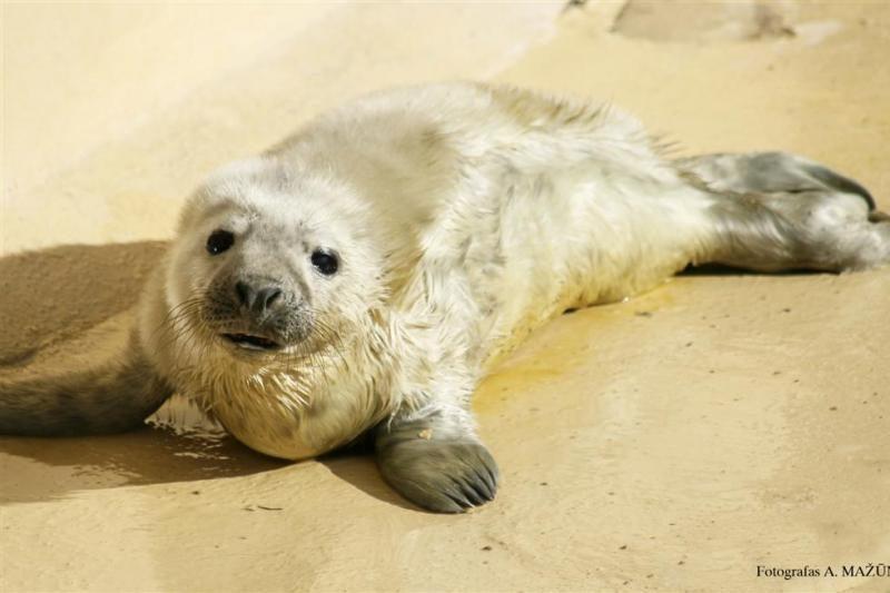 Jūrų muziejaus ruoniukams išrinkti vardai