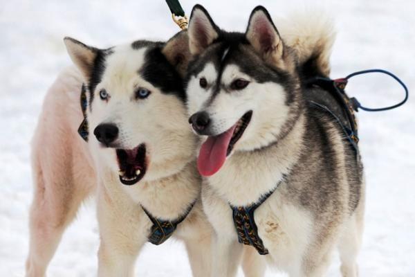 Dusetose žiūrovus džiugins ir šunų kinkinių lenktynės
