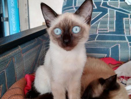 Skelbimas - Siamo katytė 3,5 mėn.