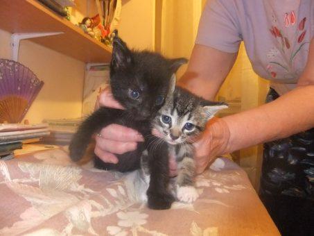 Skelbimas - Dovanojami mieli kačiukai