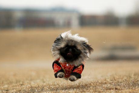 Žmonės liko sužavėti: šuo įveikė pusmaratonį ir laimėjo medalį
