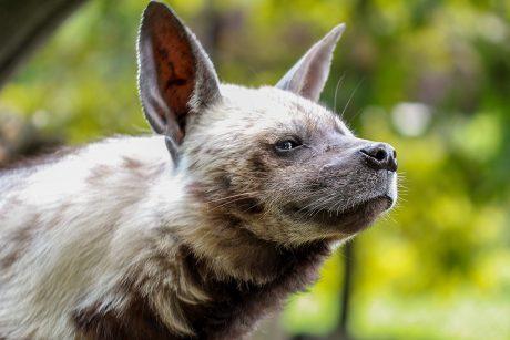 Zoologijos sode – besijuokianti ir atnaujų namų laukianti hiena