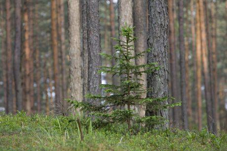 Suskubę pateikti paraiškas gaus padidintas išmokas miškui įveisti