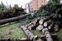Medkirčiai įsisuko į Klaipėdos centre augusias egles