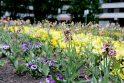 Gėlynai: iki kitos savaitės pabaigos uostamiesčio gėlynuose bus pasodintos naujos gėlės, nes pavasarinės jau nuvyto.