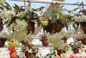 Emocionali meilės gėlė: patarimai, kaip auginti ir prižiūrėti begoniją
