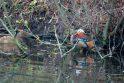 Prie rusų ambasados Vilniuje protestuoja Rusijoje nykstanti mandarininė antis