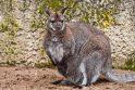 Zoologijos sode dūksta jaunikliai – nuo kengūriuko iki lapiuko