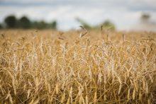 Lietuvoje baigėsi javapjūtė – derlius mažesnis