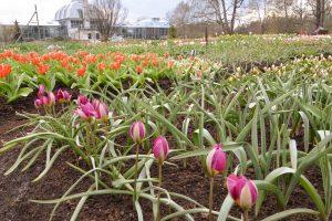 Kauno botanikos sode – svaiginantis tulpių žydėjimo metas